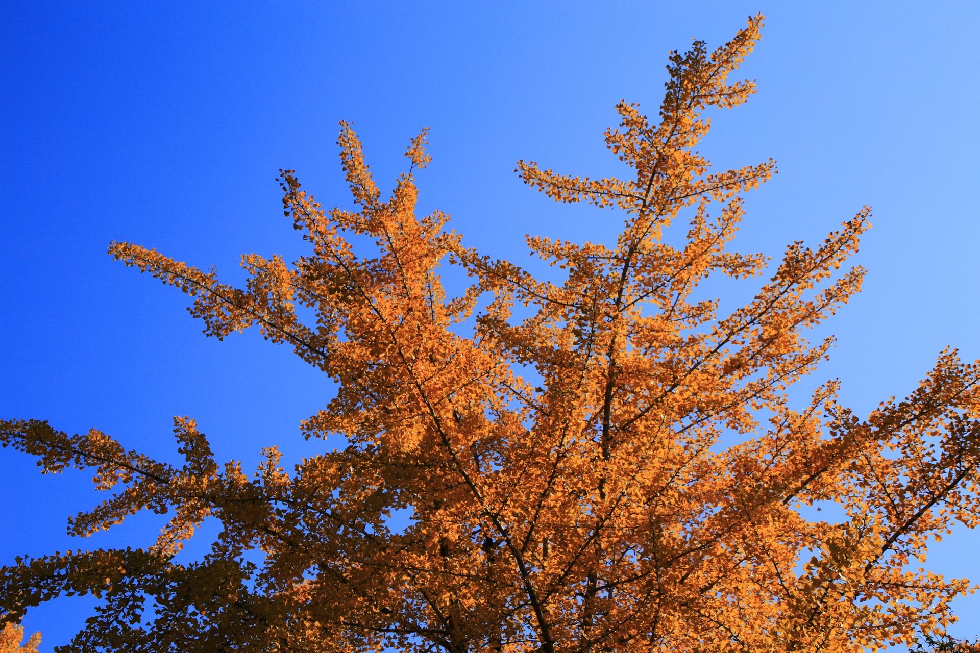 雲一つない青空を染める絶品の銀杏