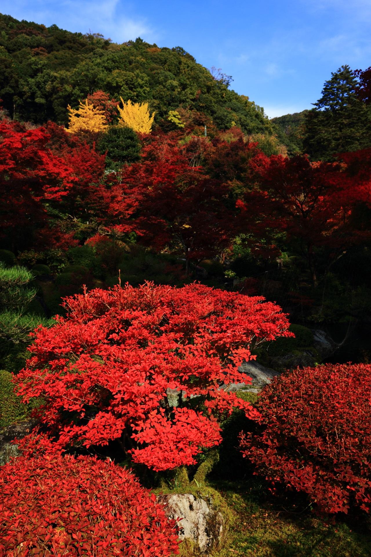 三室戸寺の煌びやかで艶やかな赤色のツツジの紅葉