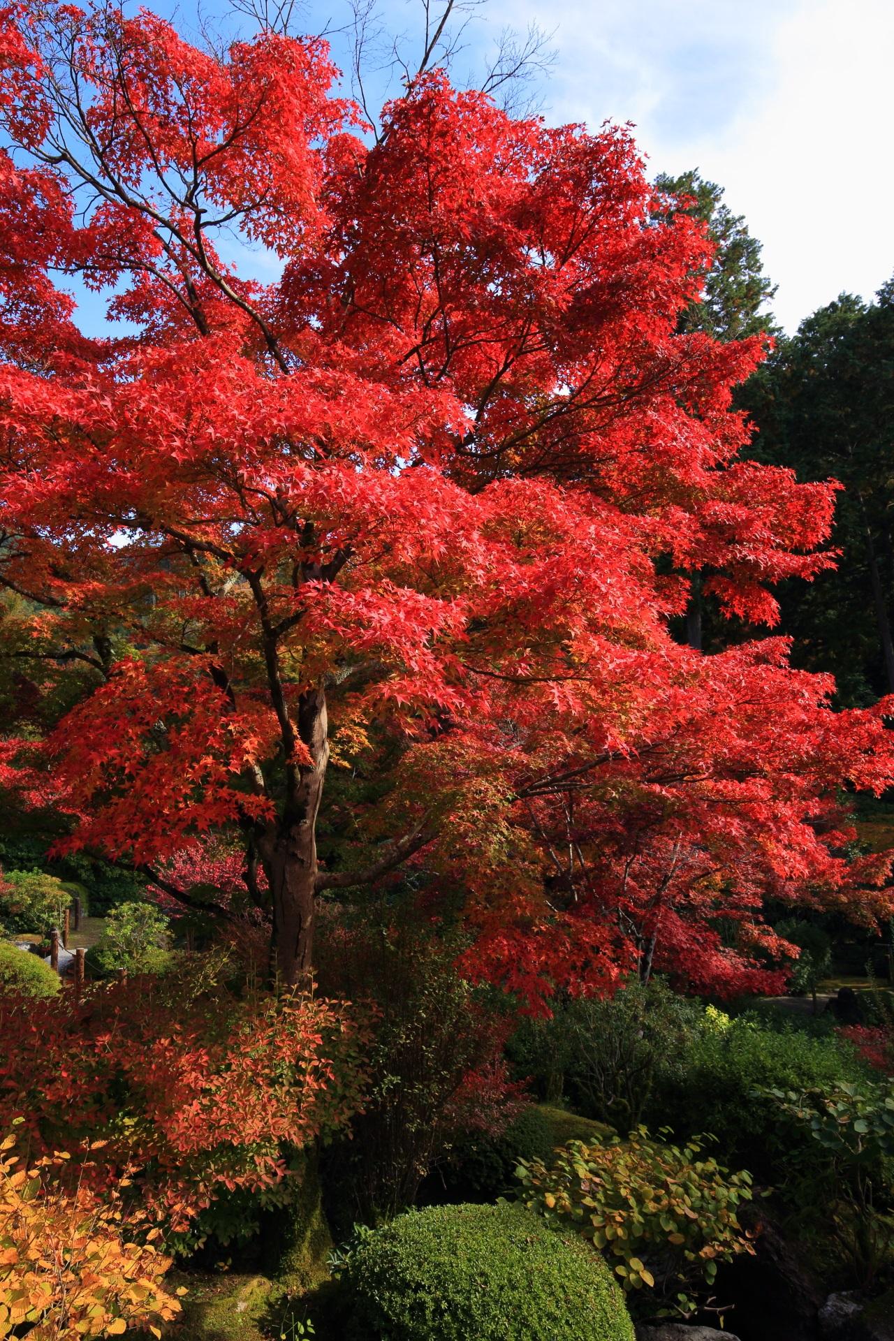 三室戸寺の池泉式庭園の真っ赤に輝く紅葉