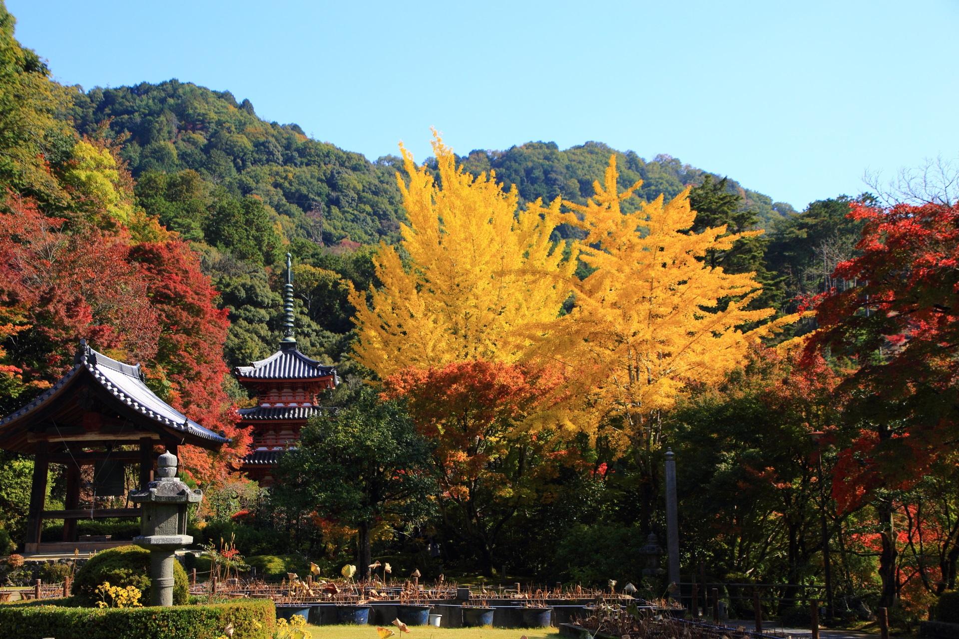 三室戸寺の三重塔や手前の鐘楼と圧倒的な存在感の大きな銀杏