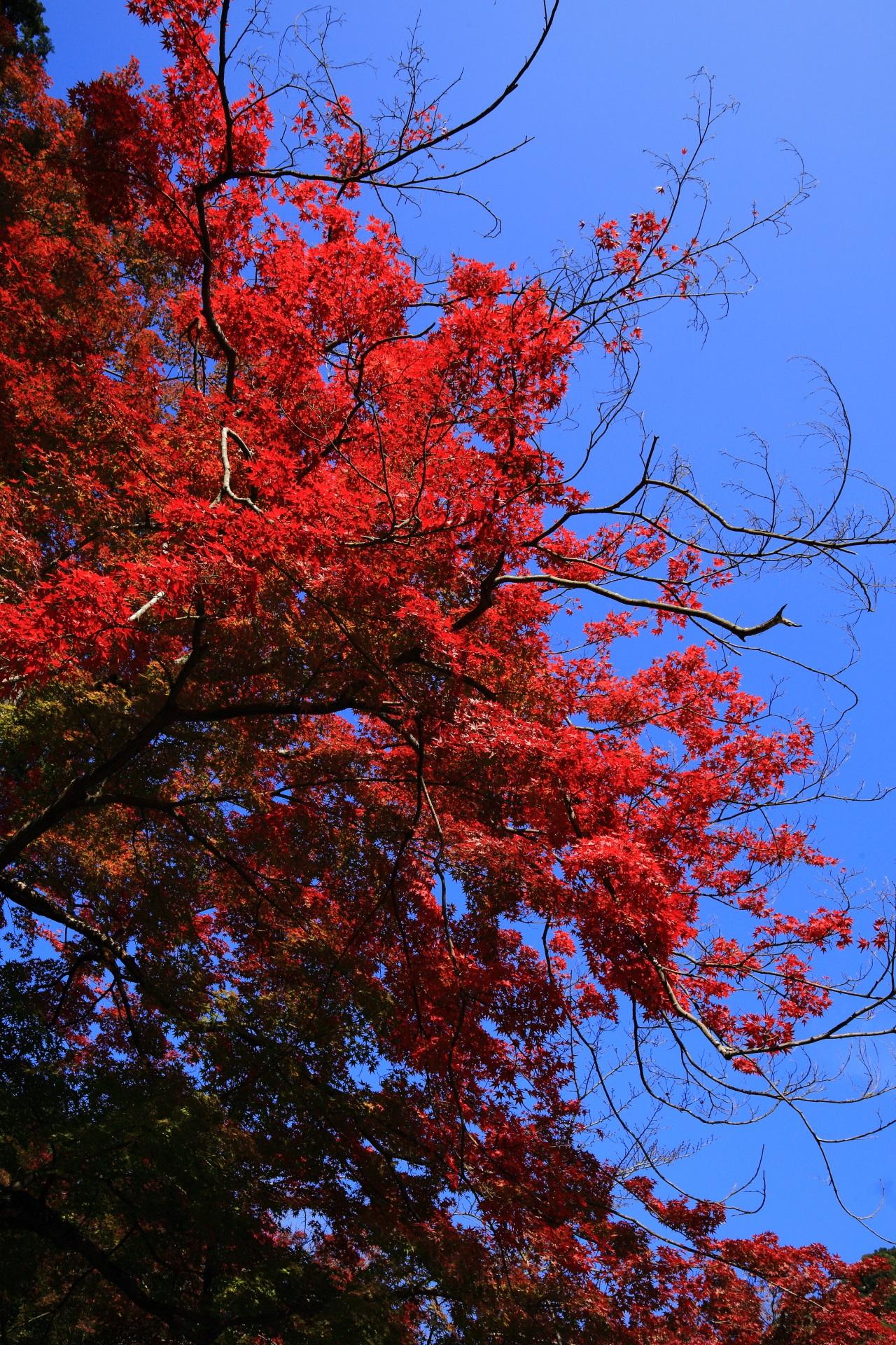 三室戸寺の本堂前や周辺の太陽に照らされ煌く真っ赤な紅葉