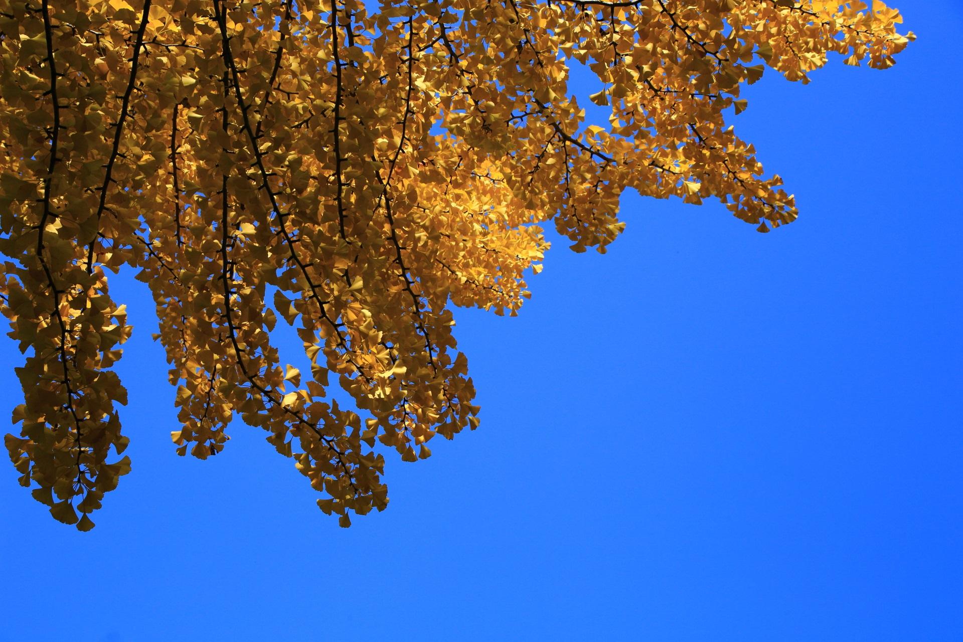 大空に映える銀杏の黄色や金色