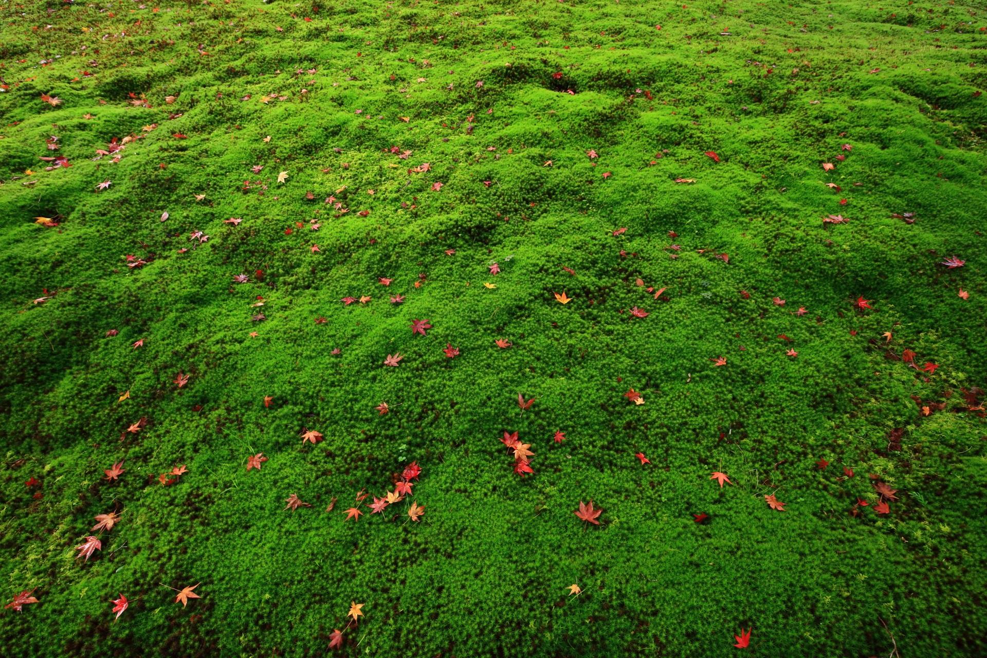 鮮やかな緑の苔と星のような散りもみじ