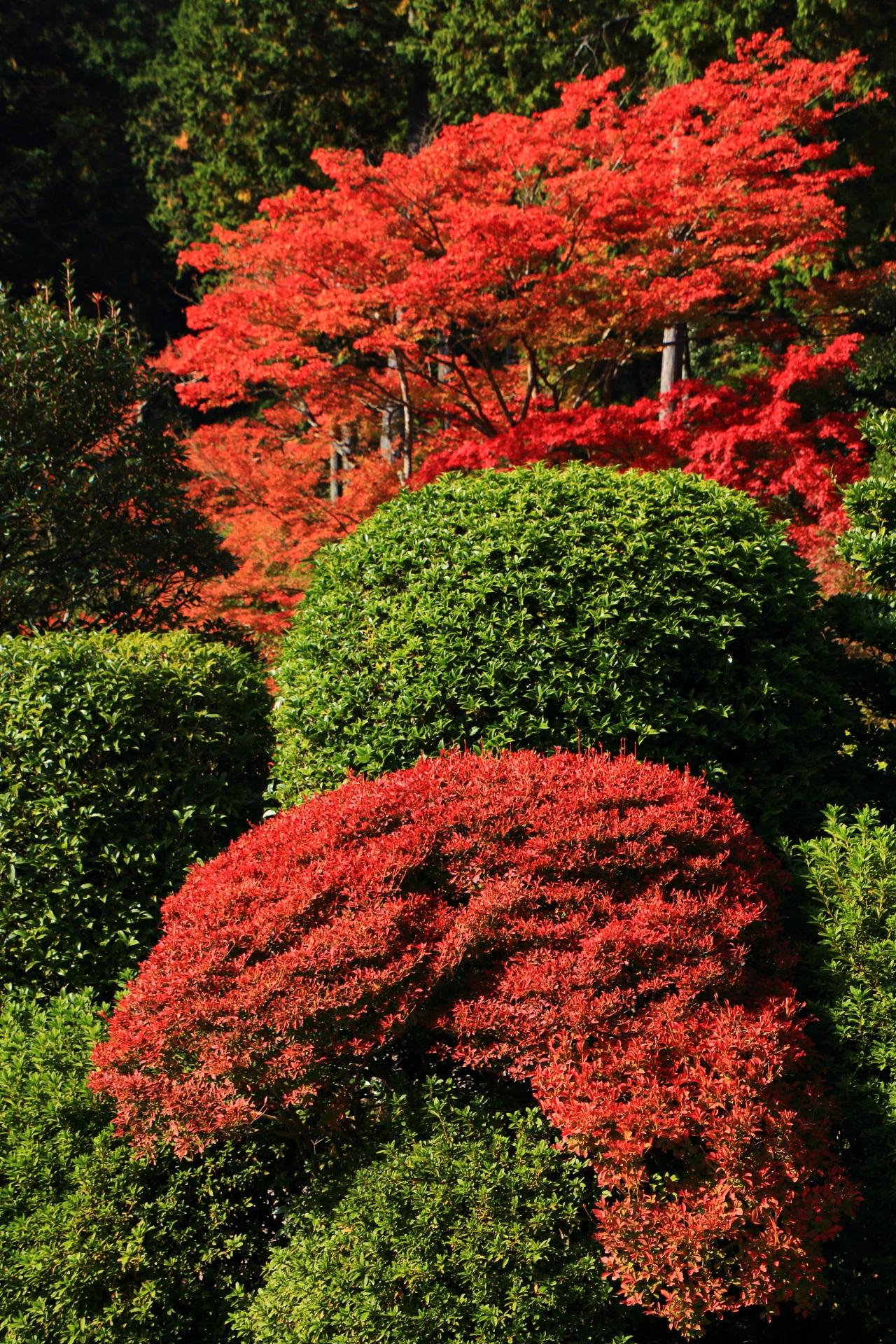 三室戸寺のツツジとカエデの赤と緑の見事なコントラスト