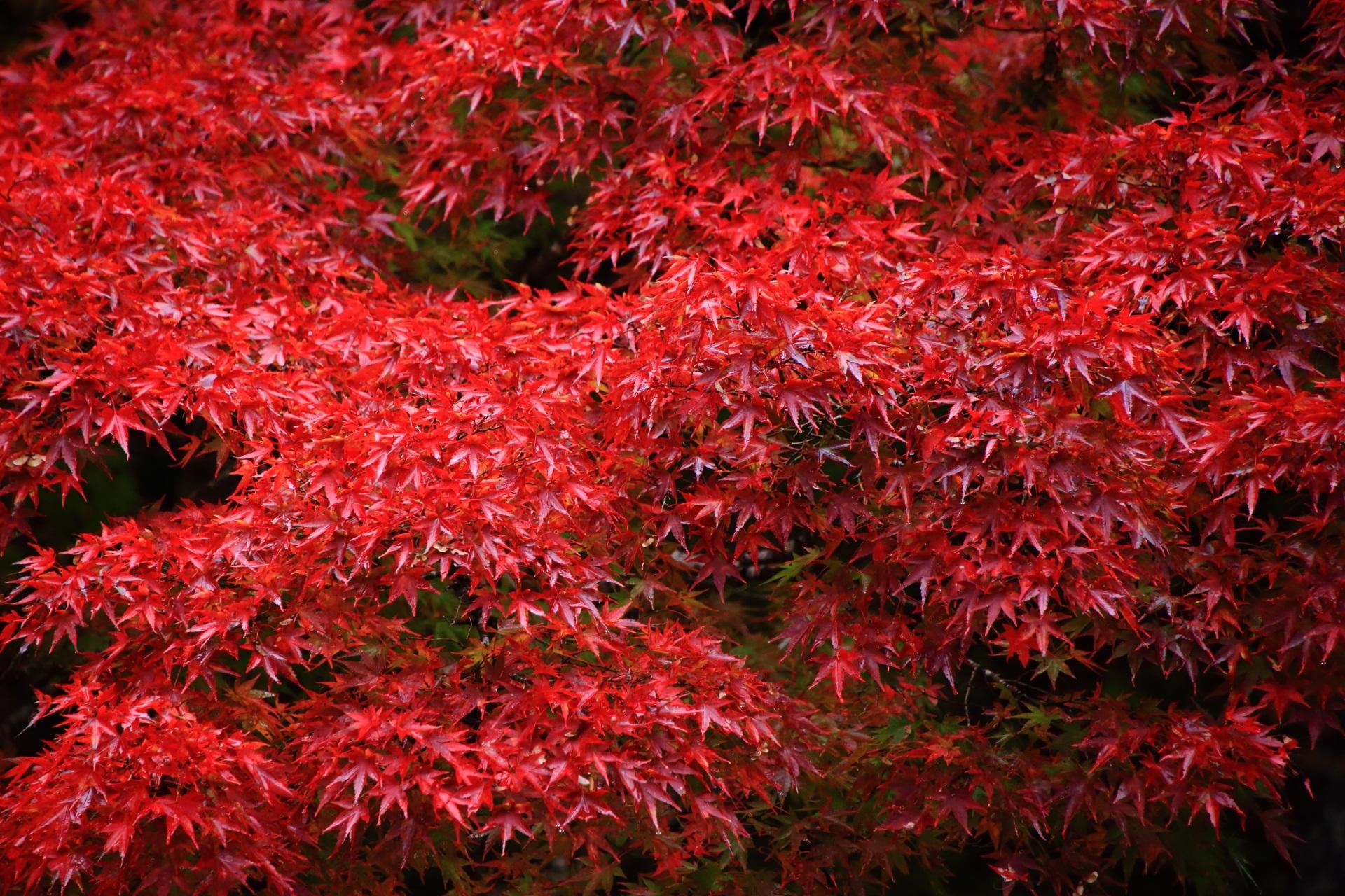 溢れる見事な色づきの紅葉