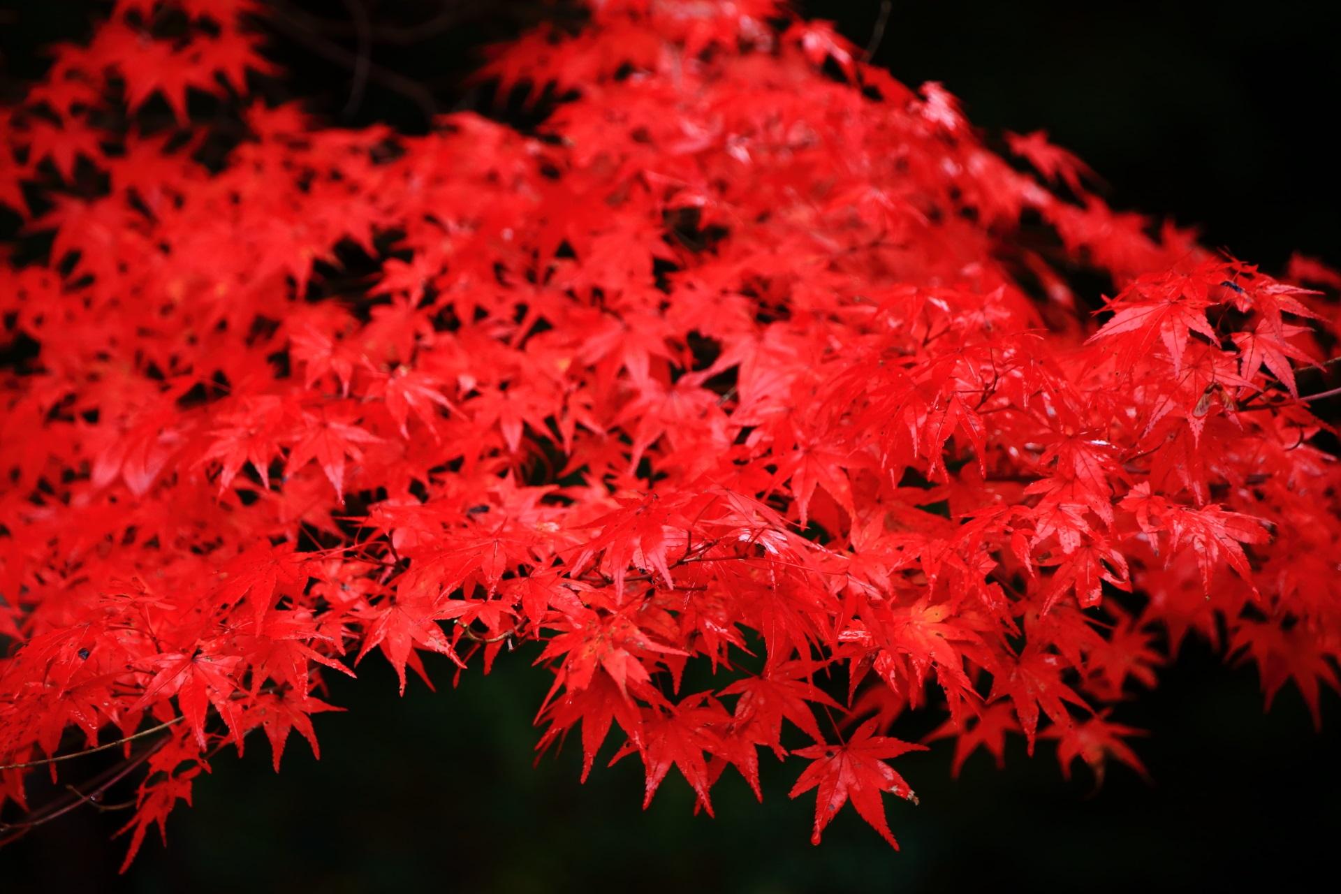 しっとりとした極上の紅葉