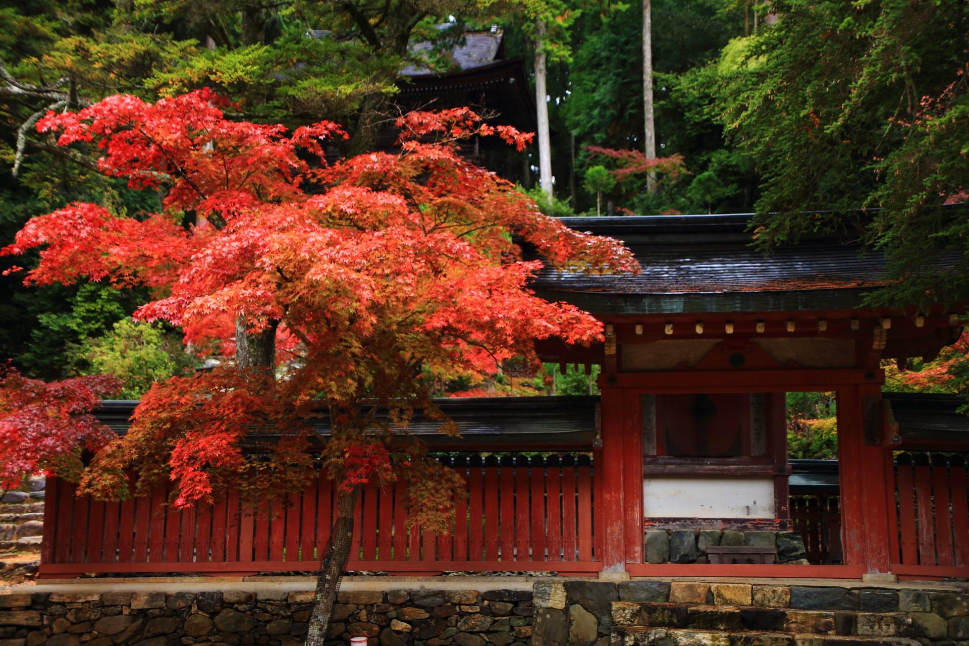 小豆色の塀と深い緑の中でほのかに光るような紅葉