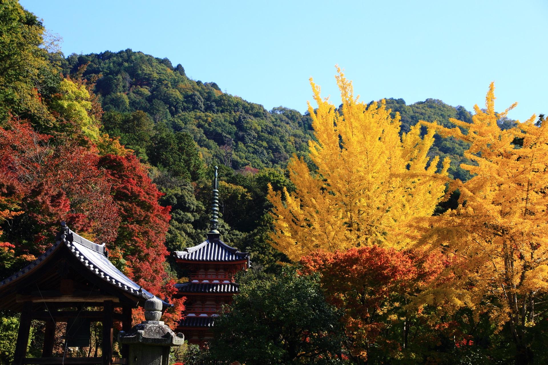 三重塔と銀杏の三室戸寺の絵になる秋の風景