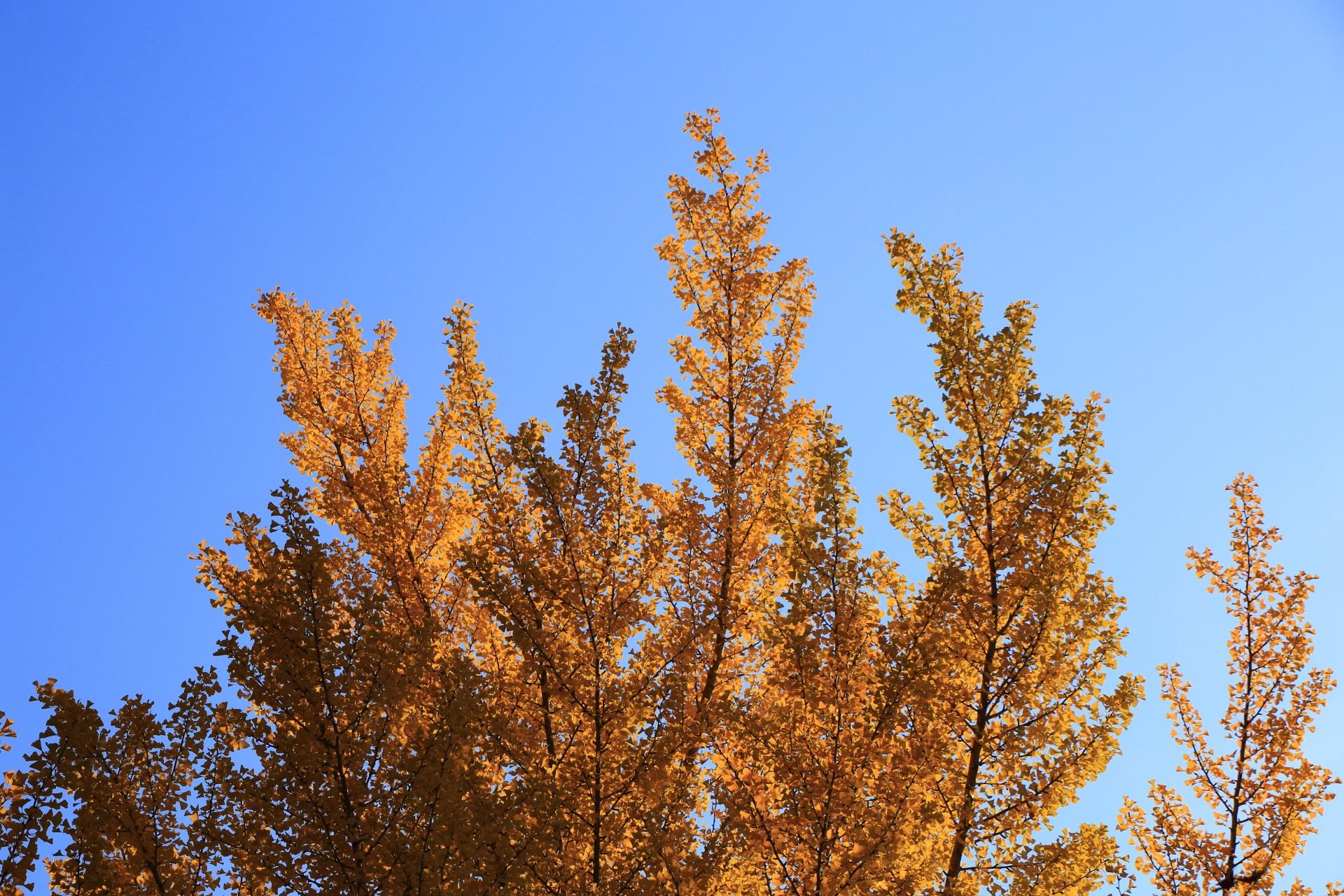 青空を彩る華やかな銀杏