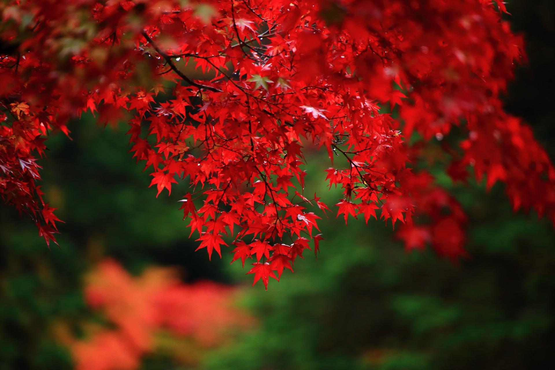 淡く光るような水滴も残った紅葉