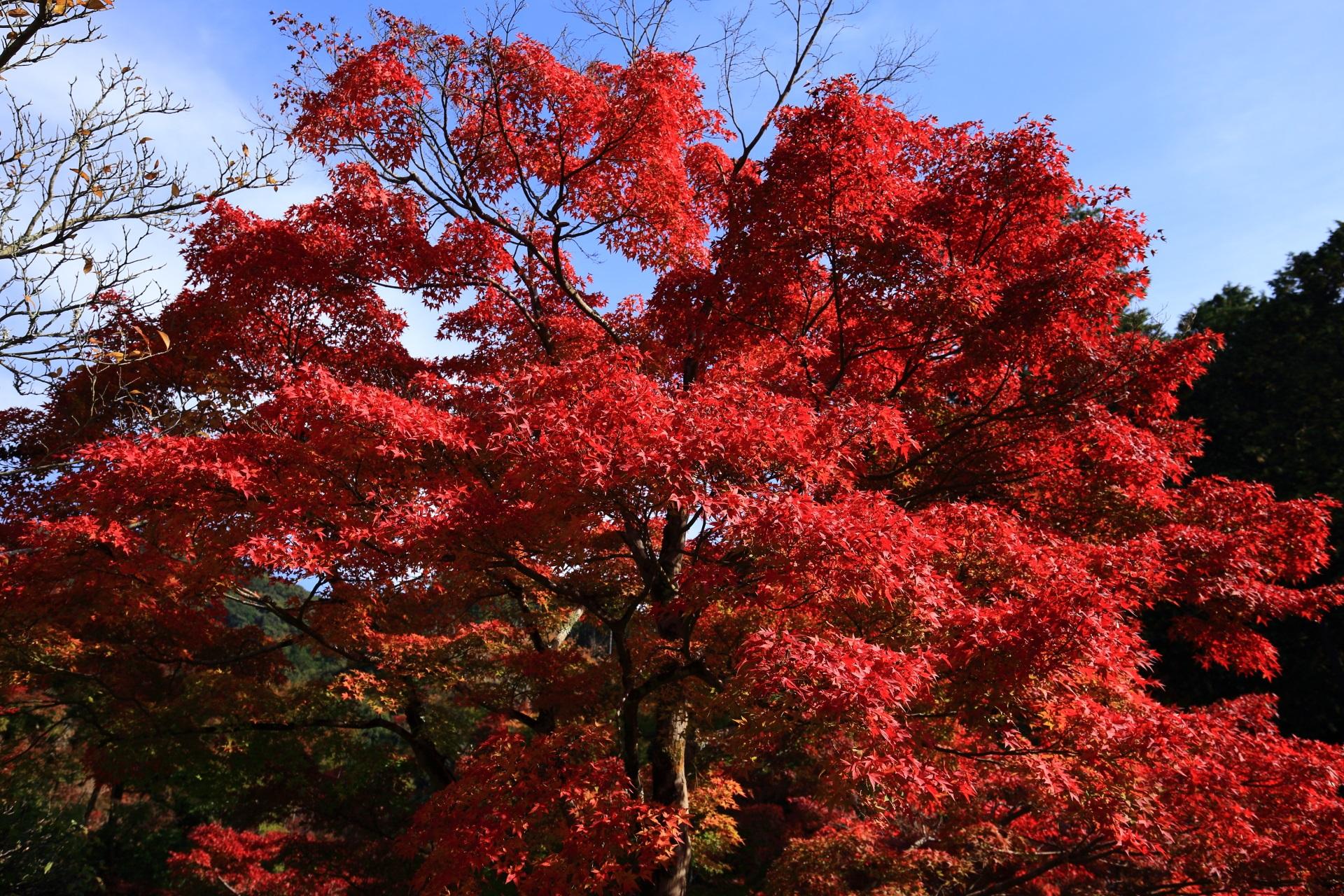 煌びやかで眩しい赤い紅葉