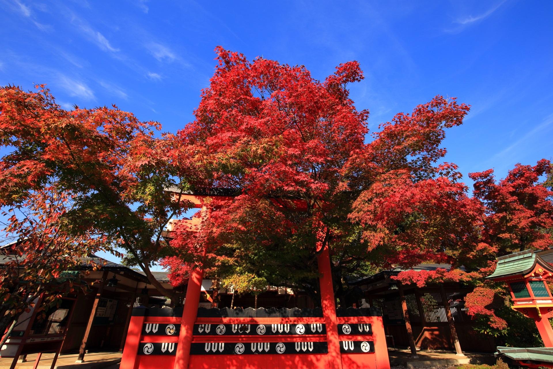 青空をそめる赤い鳥居と赤い紅葉