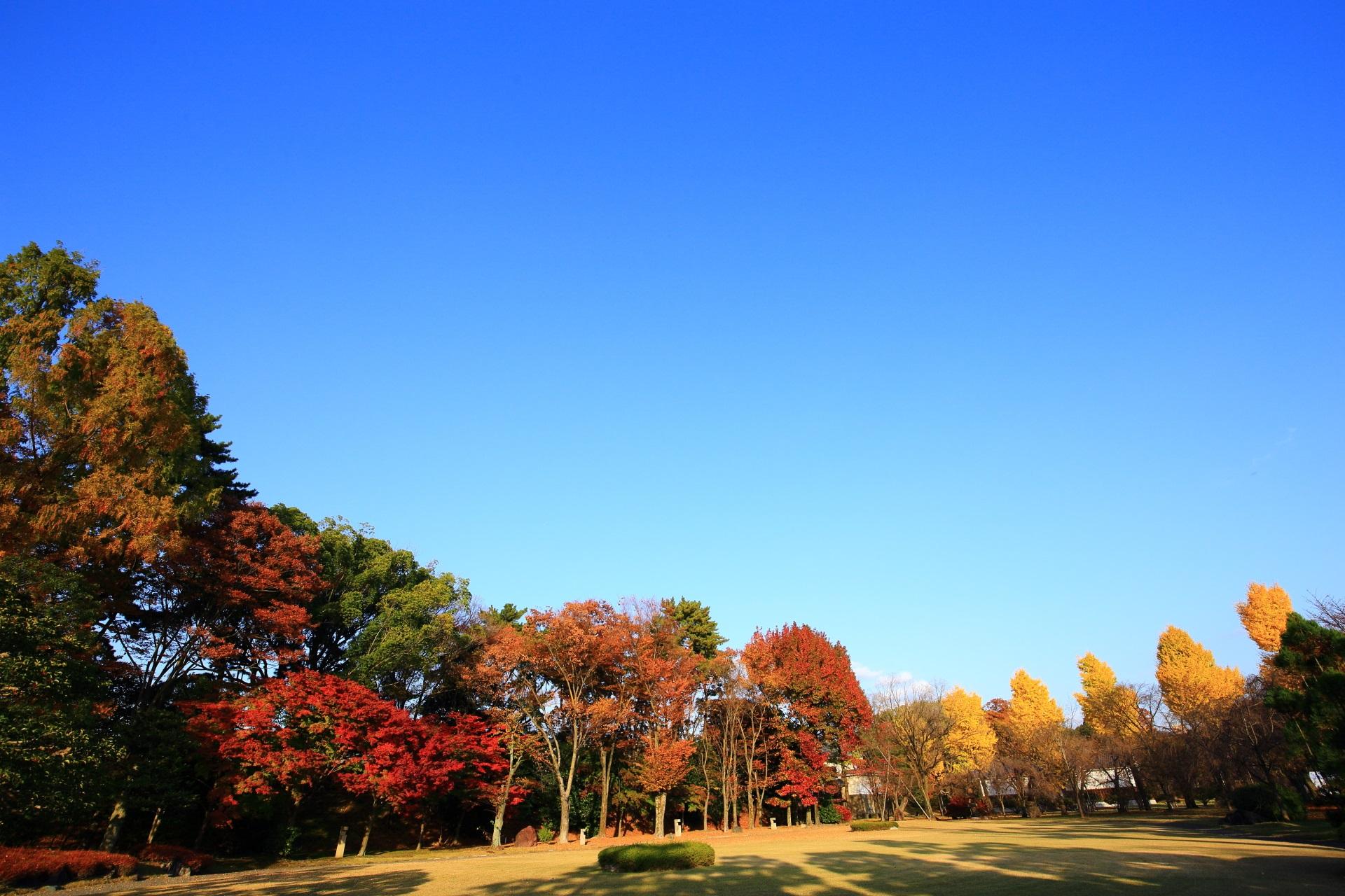 青空に映える華やかな銀杏と紅葉