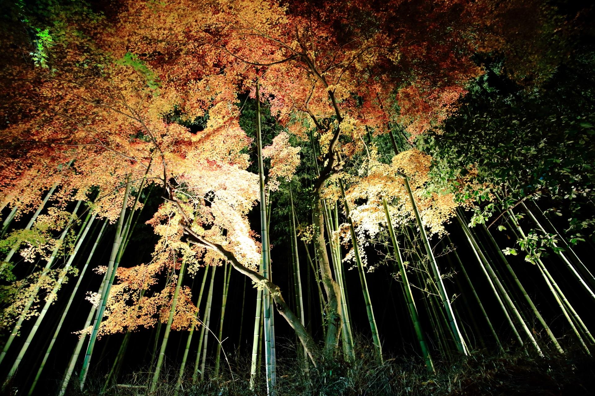 京都嵐山花灯路の竹林と紅葉のライトアップ