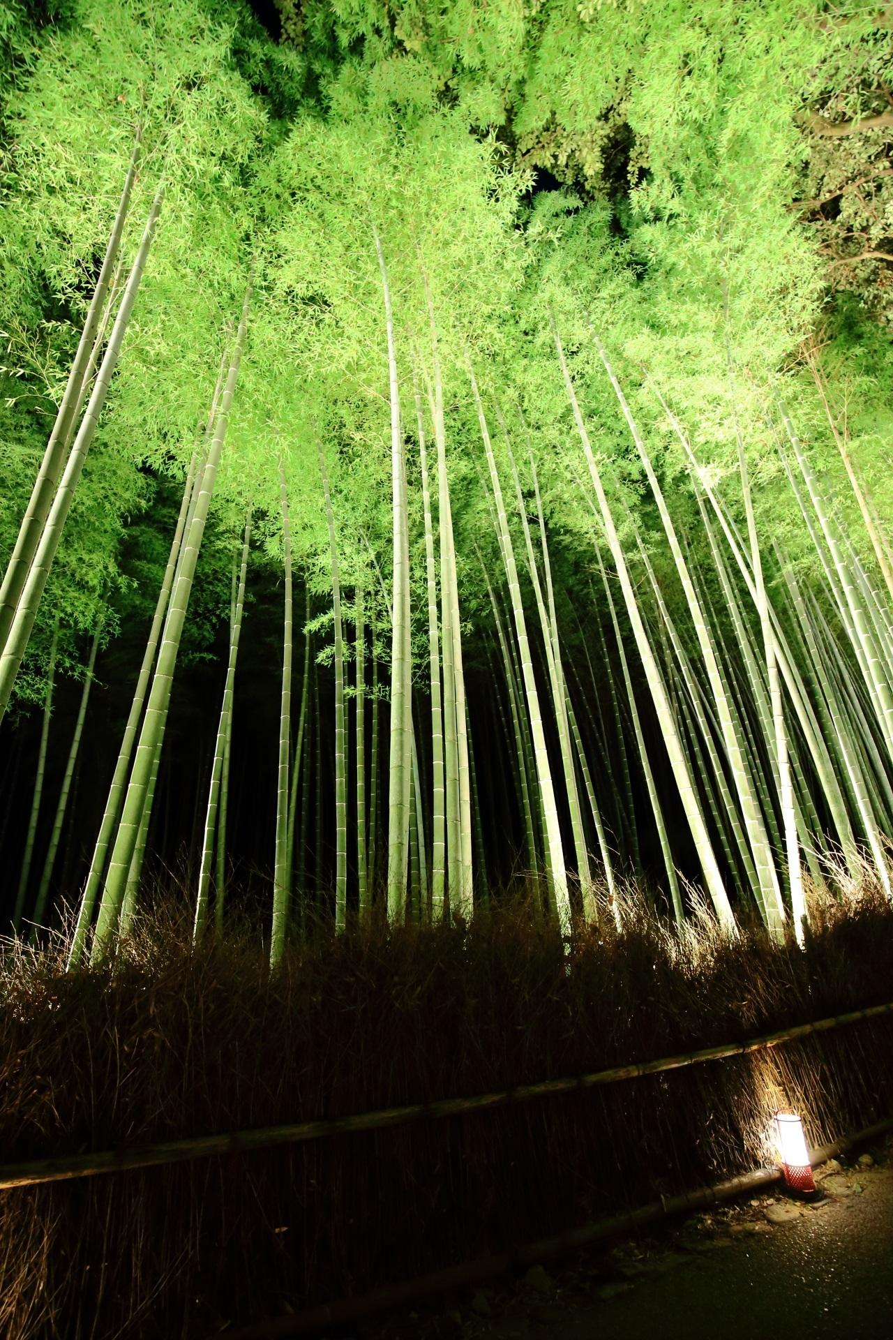 竹林 ライトアップ 嵐山花灯路 綺麗